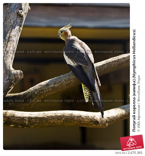нимфа корелла попугай