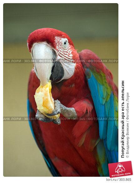 Попугай Красный ара есть апельсин, фото № 303865, снято 17 мая 2008 г. (c) Владимир Воякин / Фотобанк Лори