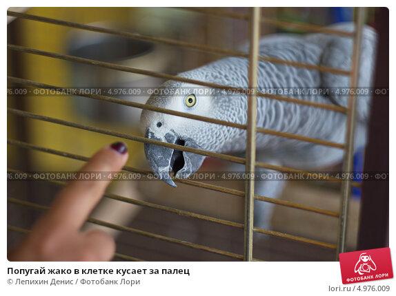 Попугай жако в клетке кусает за палец. Стоковое фото, фотограф Лепихин Денис / Фотобанк Лори