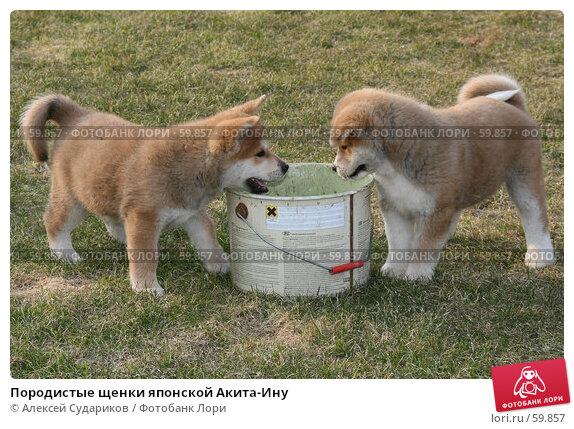 Породистые щенки японской Акита-Ину, фото № 59857, снято 31 марта 2007 г. (c) Алексей Судариков / Фотобанк Лори