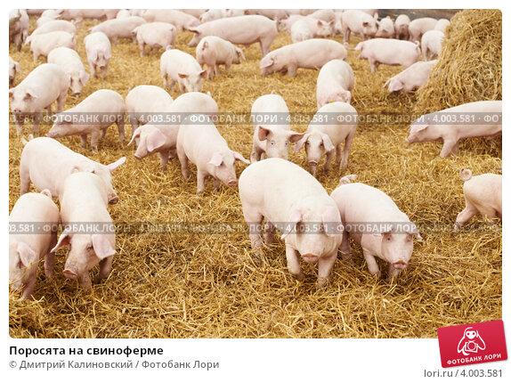 Купить «Поросята на свиноферме», фото № 4003581, снято 23 августа 2012 г. (c) Дмитрий Калиновский / Фотобанк Лори