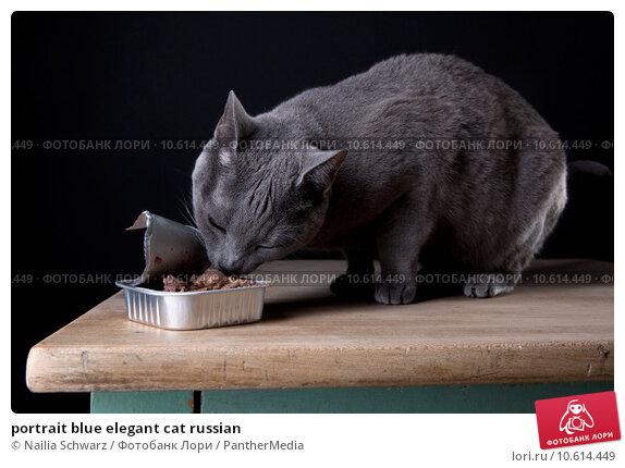 portrait blue elegant cat russian. Стоковое фото, фотограф Nailia Schwarz / PantherMedia / Фотобанк Лори