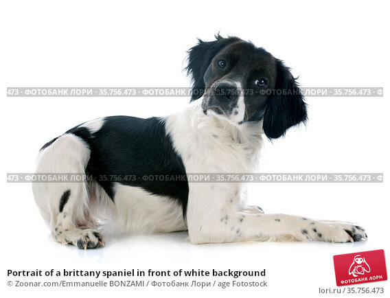 Portrait of a brittany spaniel in front of white background. Стоковое фото, фотограф Zoonar.com/Emmanuelle BONZAMI / age Fotostock / Фотобанк Лори