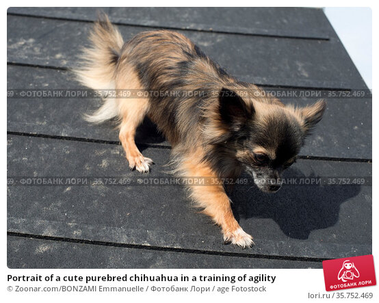 Portrait of a cute purebred chihuahua in a training of agility. Стоковое фото, фотограф Zoonar.com/BONZAMI Emmanuelle / age Fotostock / Фотобанк Лори