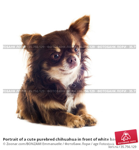 Portrait of a cute purebred chihuahua in front of white background. Стоковое фото, фотограф Zoonar.com/BONZAMI Emmanuelle / age Fotostock / Фотобанк Лори
