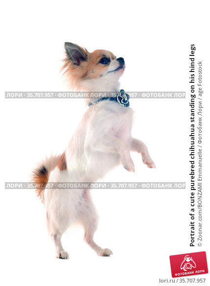 Portrait of a cute purebred chihuahua standing on his hind legs. Стоковое фото, фотограф Zoonar.com/BONZAMI Emmanuelle / age Fotostock / Фотобанк Лори