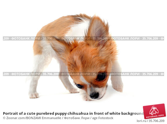 Portrait of a cute purebred puppy chihuahua in front of white background. Стоковое фото, фотограф Zoonar.com/BONZAMI Emmanuelle / age Fotostock / Фотобанк Лори