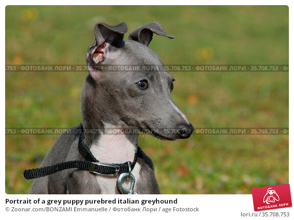 Portrait of a grey puppy purebred italian greyhound. Стоковое фото, фотограф Zoonar.com/BONZAMI Emmanuelle / age Fotostock / Фотобанк Лори