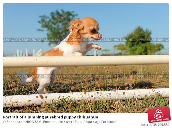 Portrait of a jumping purebred puppy chihuahua. Стоковое фото, фотограф Zoonar.com/BONZAMI Emmanuelle / age Fotostock / Фотобанк Лори