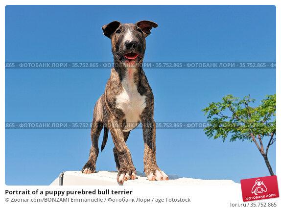Portrait of a puppy purebred bull terrier. Стоковое фото, фотограф Zoonar.com/BONZAMI Emmanuelle / age Fotostock / Фотобанк Лори