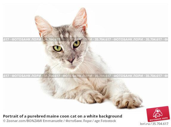 Portrait of a purebred maine coon cat on a white background. Стоковое фото, фотограф Zoonar.com/BONZAMI Emmanuelle / age Fotostock / Фотобанк Лори
