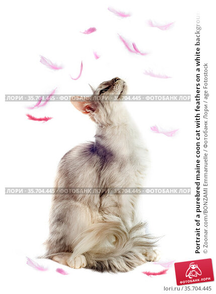 Portrait of a purebred maine coon cat with feathers on a white background. Стоковое фото, фотограф Zoonar.com/BONZAMI Emmanuelle / age Fotostock / Фотобанк Лори