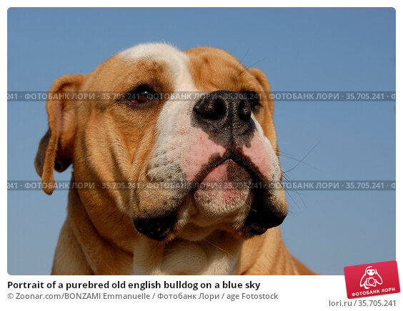 Portrait of a purebred old english bulldog on a blue sky. Стоковое фото, фотограф Zoonar.com/BONZAMI Emmanuelle / age Fotostock / Фотобанк Лори