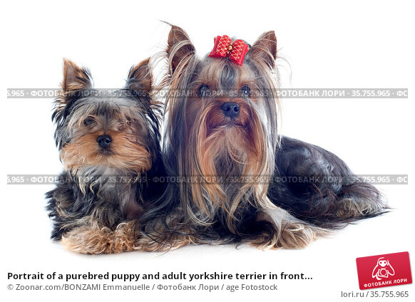 Portrait of a purebred puppy and adult yorkshire terrier in front... Стоковое фото, фотограф Zoonar.com/BONZAMI Emmanuelle / age Fotostock / Фотобанк Лори