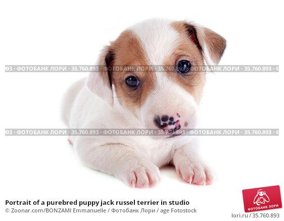 Portrait of a purebred puppy jack russel terrier in studio. Стоковое фото, фотограф Zoonar.com/BONZAMI Emmanuelle / age Fotostock / Фотобанк Лори