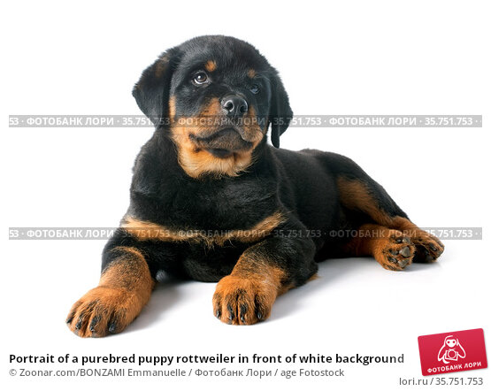 Portrait of a purebred puppy rottweiler in front of white background. Стоковое фото, фотограф Zoonar.com/BONZAMI Emmanuelle / age Fotostock / Фотобанк Лори
