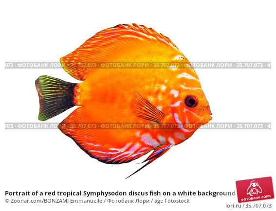 Portrait of a red tropical Symphysodon discus fish on a white background. Стоковое фото, фотограф Zoonar.com/BONZAMI Emmanuelle / age Fotostock / Фотобанк Лори