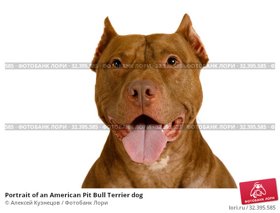 Купить «Portrait of an American Pit Bull Terrier dog», фото № 32395585, снято 30 октября 2019 г. (c) Алексей Кузнецов / Фотобанк Лори