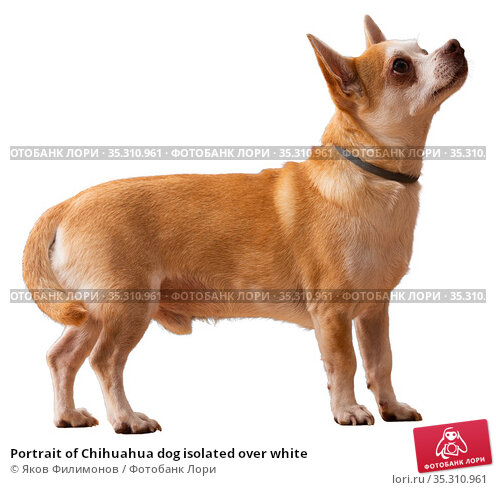 Portrait of Chihuahua dog isolated over white. Стоковое фото, фотограф Яков Филимонов / Фотобанк Лори