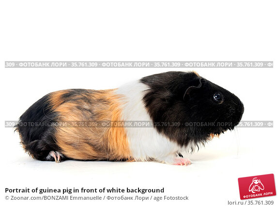 Portrait of guinea pig in front of white background. Стоковое фото, фотограф Zoonar.com/BONZAMI Emmanuelle / age Fotostock / Фотобанк Лори