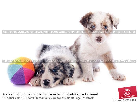 Portrait of puppies border collie in front of white background. Стоковое фото, фотограф Zoonar.com/BONZAMI Emmanuelle / age Fotostock / Фотобанк Лори