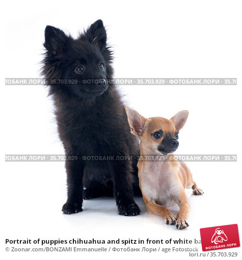 Portrait of puppies chihuahua and spitz in front of white background. Стоковое фото, фотограф Zoonar.com/BONZAMI Emmanuelle / age Fotostock / Фотобанк Лори
