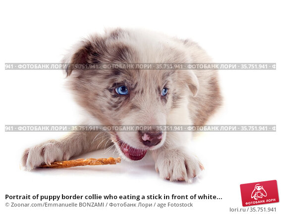 Portrait of puppy border collie who eating a stick in front of white... Стоковое фото, фотограф Zoonar.com/Emmanuelle BONZAMI / age Fotostock / Фотобанк Лори
