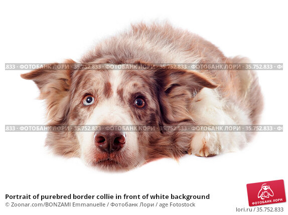 Portrait of purebred border collie in front of white background. Стоковое фото, фотограф Zoonar.com/BONZAMI Emmanuelle / age Fotostock / Фотобанк Лори