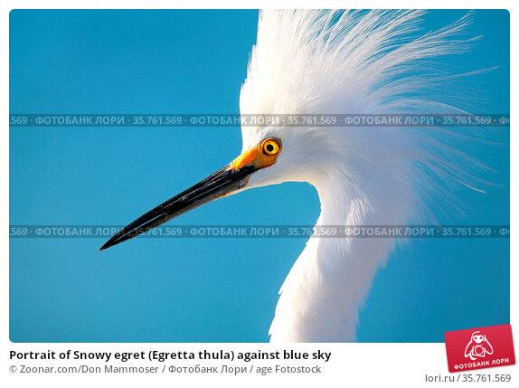 Portrait of Snowy egret (Egretta thula) against blue sky. Стоковое фото, фотограф Zoonar.com/Don Mammoser / age Fotostock / Фотобанк Лори