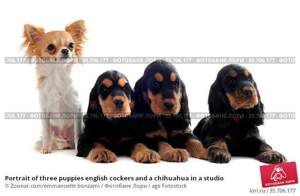 Portrait of three puppies english cockers and a chihuahua in a studio. Стоковое фото, фотограф Zoonar.com/emmanuelle bonzami / age Fotostock / Фотобанк Лори