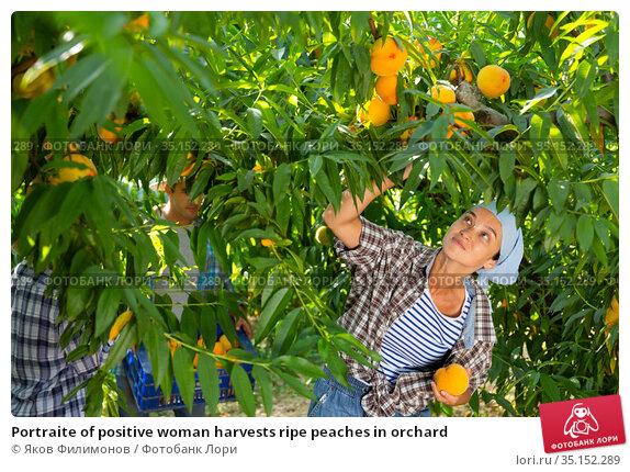 Portraite of positive woman harvests ripe peaches in orchard. Стоковое фото, фотограф Яков Филимонов / Фотобанк Лори