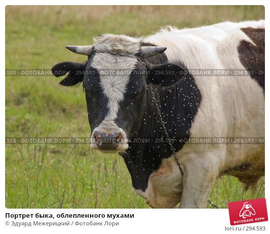 Портрет быка, облепленного мухами, фото № 294593, снято 2 мая 2008 г. (c) Эдуард Межерицкий / Фотобанк Лори