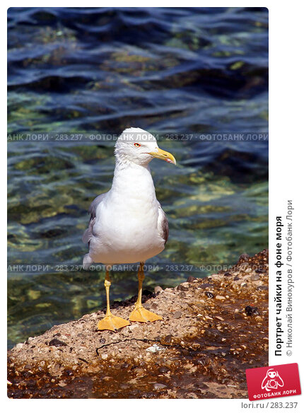 Портрет чайки на фоне моря, эксклюзивное фото № 283237, снято 10 декабря 2016 г. (c) Николай Винокуров / Фотобанк Лори