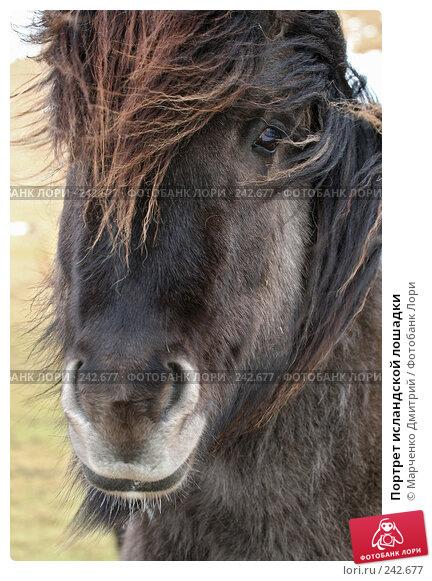 Портрет исландской лошадки, фото № 242677, снято 6 марта 2008 г. (c) Марченко Дмитрий / Фотобанк Лори