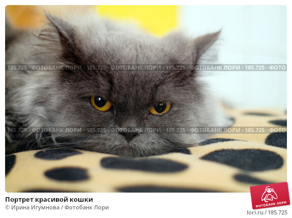 Купить «Портрет красивой кошки», фото № 185725, снято 17 октября 2007 г. (c) Ирина Игумнова / Фотобанк Лори