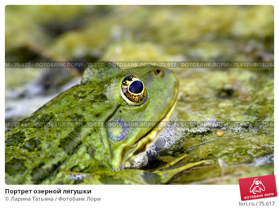 Купить «Портрет озерной лягушки», фото № 75617, снято 16 августа 2007 г. (c) Ларина Татьяна / Фотобанк Лори