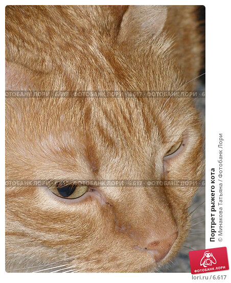 Портрет рыжего кота, фото № 6617, снято 24 марта 2006 г. (c) Минакова Татьяна / Фотобанк Лори