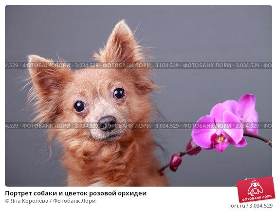 Купить «Портрет собаки и цветок розовой орхидеи», эксклюзивное фото № 3034529, снято 16 июля 2018 г. (c) Яна Королёва / Фотобанк Лори