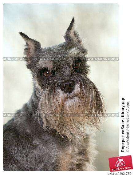 Портрет собаки. Шнауцер, фото № 192789, снято 27 июня 2017 г. (c) AlexValent / Фотобанк Лори