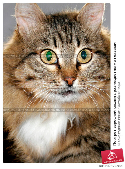 Портрет взрослой кошки с разноцветными глазами, фото № 172933, снято 12 апреля 2006 г. (c) Хайрятдинов Ринат / Фотобанк Лори