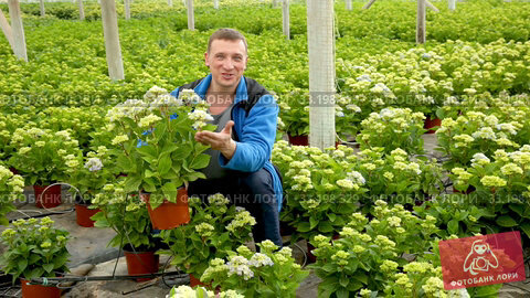 Купить «Positive man farmer working with Hydrangea plants while gardening in glasshouse», видеоролик № 33198329, снято 26 апреля 2019 г. (c) Яков Филимонов / Фотобанк Лори