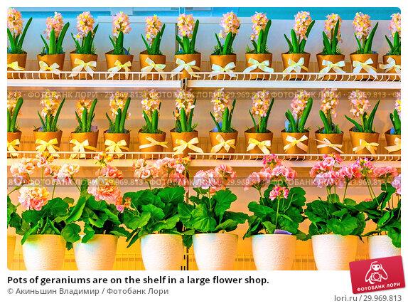 Купить «Pots of geraniums are on the shelf in a large flower shop.», фото № 29969813, снято 16 января 2019 г. (c) Акиньшин Владимир / Фотобанк Лори