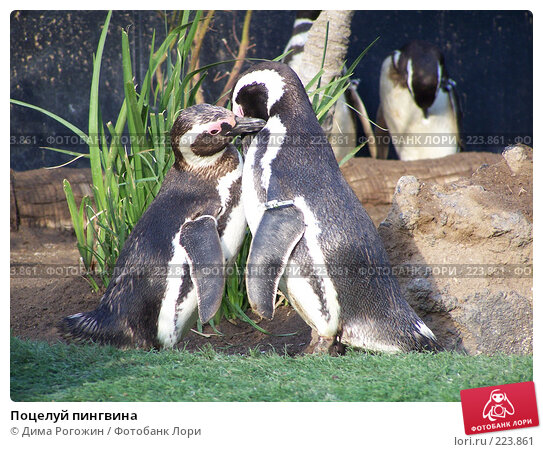 Купить «Поцелуй пингвина», фото № 223861, снято 18 июля 2006 г. (c) Дима Рогожин / Фотобанк Лори