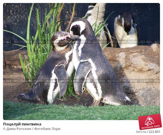 Поцелуй пингвина, фото № 223861, снято 18 июля 2006 г. (c) Дима Рогожин / Фотобанк Лори