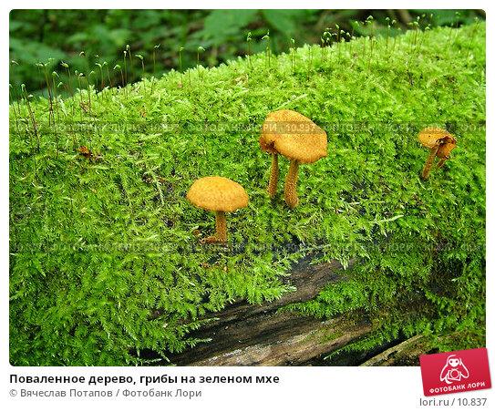 Поваленное дерево, грибы на зеленом мхе, фото № 10837, снято 11 сентября 2004 г. (c) Вячеслав Потапов / Фотобанк Лори