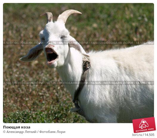 Поющая коза, фото № 14505, снято 7 июля 2006 г. (c) Александр Легкий / Фотобанк Лори
