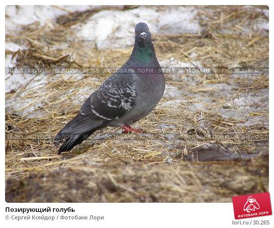 Позирующий голубь, фото № 30265, снято 27 мая 2017 г. (c) Сергей Ксейдор / Фотобанк Лори