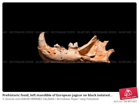 Prehistoric fossil, left mandible of European jaguar on black isolated... Стоковое фото, фотограф Zoonar.com/DAVID HERRAEZ CALZADA / easy Fotostock / Фотобанк Лори