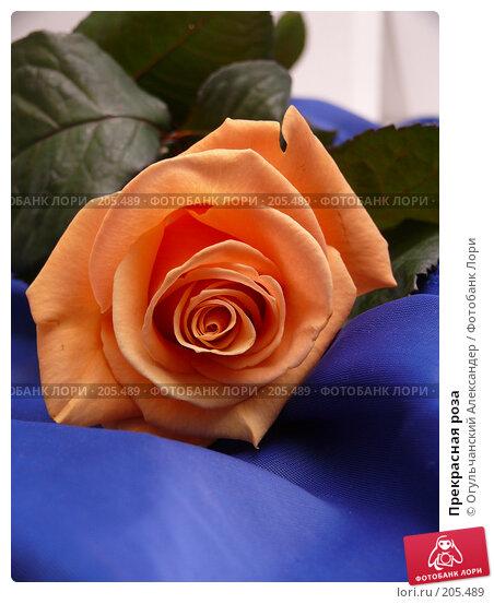 Прекрасная роза, фото № 205489, снято 13 февраля 2008 г. (c) Огульчанский Александер / Фотобанк Лори