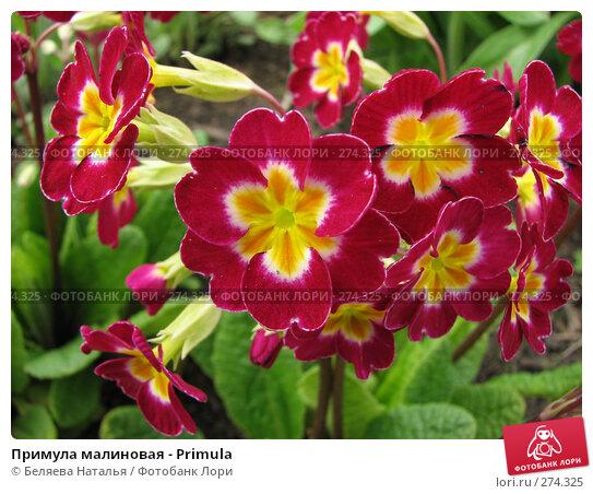 Купить «Примула малиновая - Primula», фото № 274325, снято 26 мая 2007 г. (c) Беляева Наталья / Фотобанк Лори